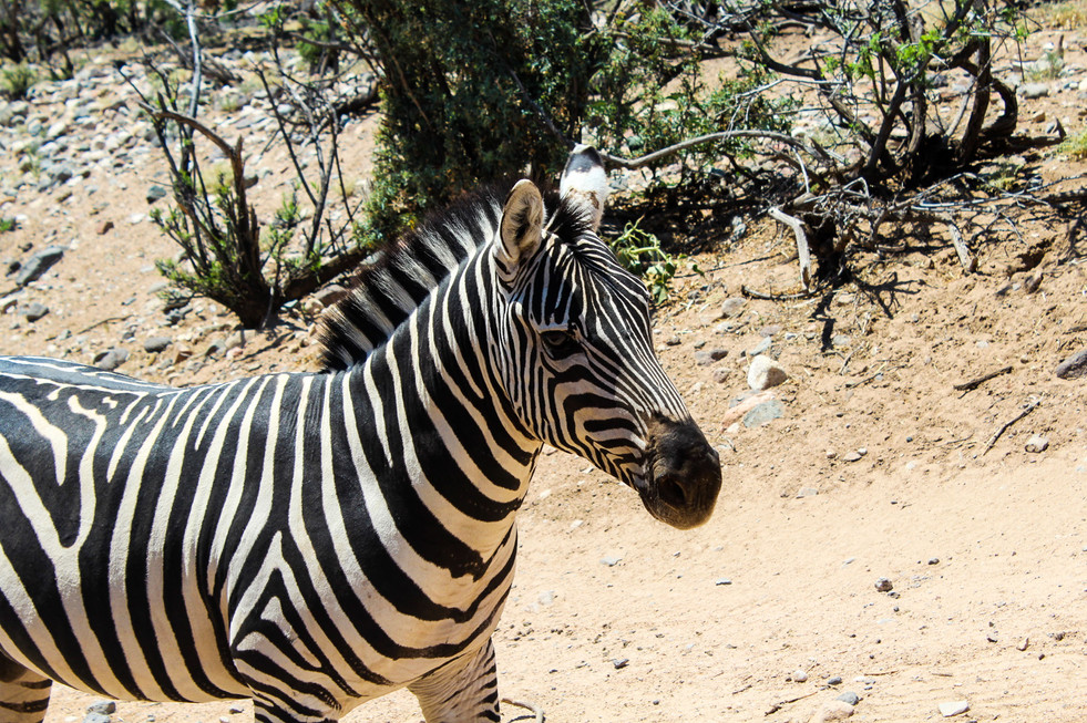 Out of Africa-Zebra