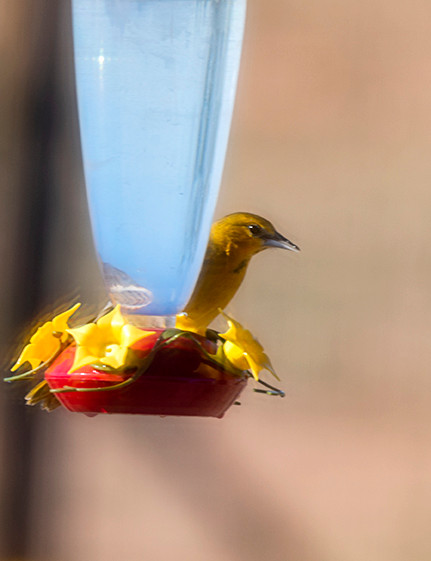Oriole Came to Steal the Sugar Water