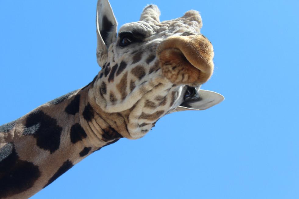 Out of Africa-Mr. Giraffe