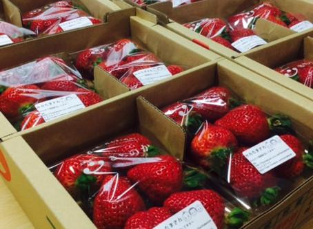 今シーズンのイチゴ販売について