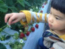 イチゴを狩るタマコ.JPG