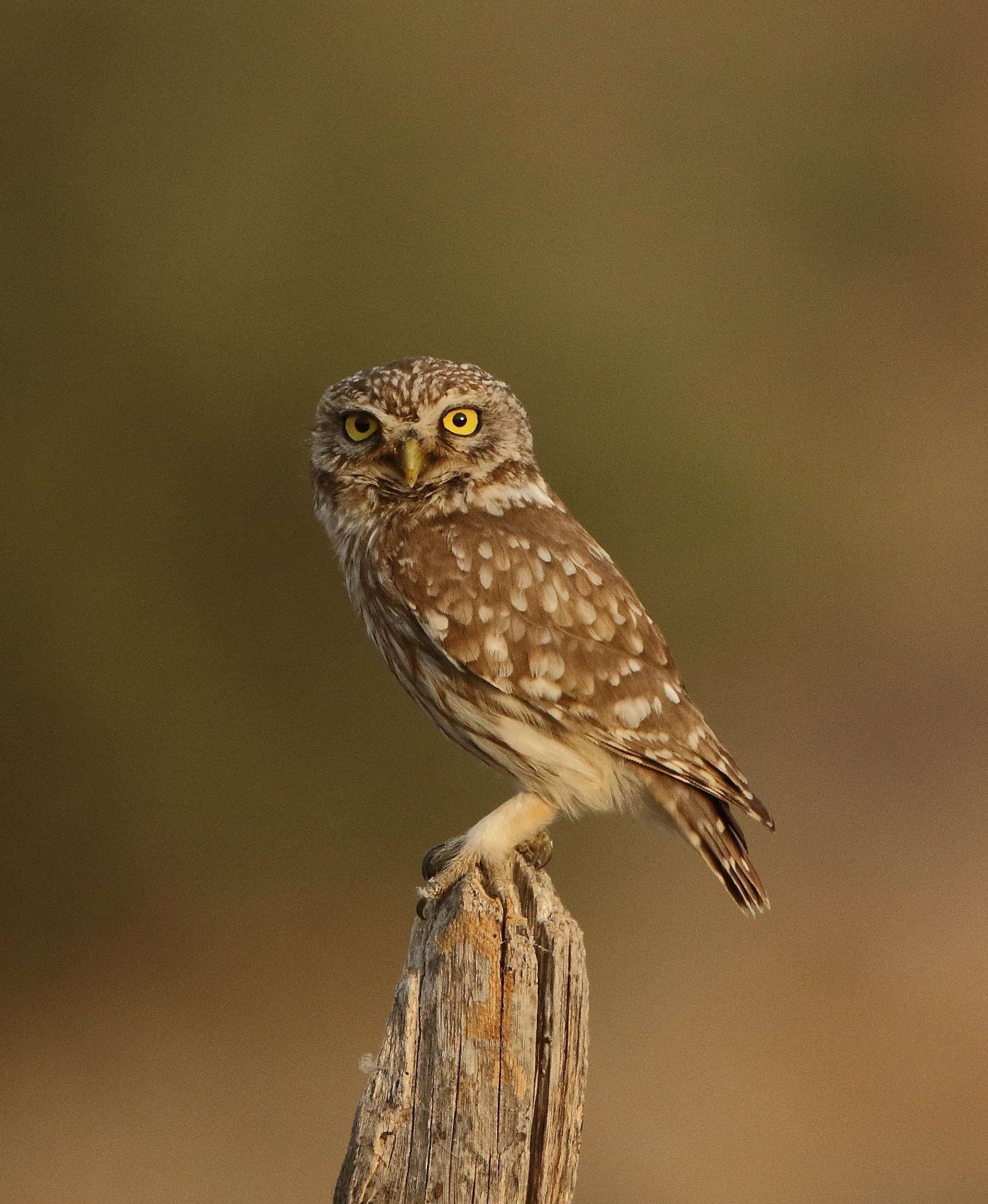 Little_Owl_Antonis_Tsaknakis_Portes_Magazine