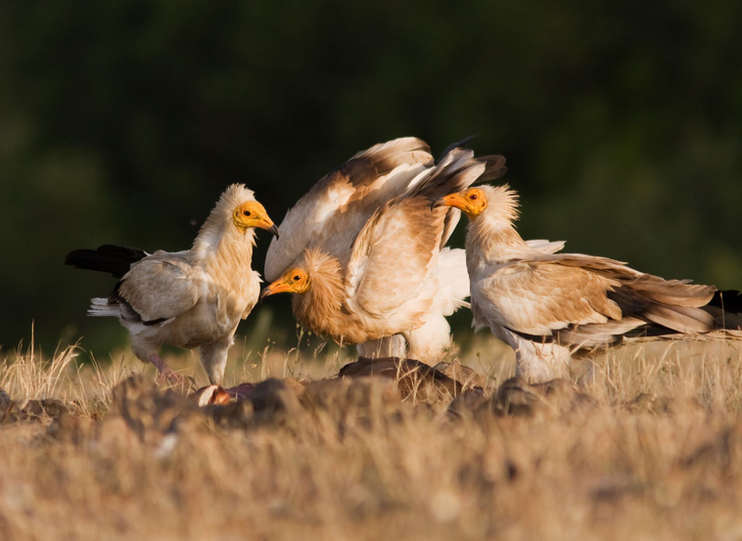 Photos_Egyptian_Vulture_preview-1 (1).jpg