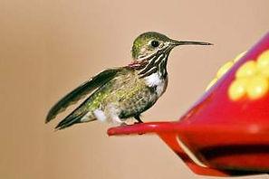 Hummingbird at feeder.jpg