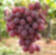 Uva-Red-Globe-003site.jpg