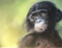 bb bonobo1.jpg