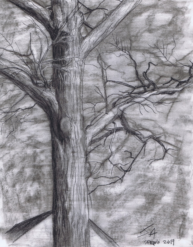 """""""Winter's end, tree in downtown Silver Spring"""", charcoal on 11"""" x 14"""" paper, 2019, $300"""