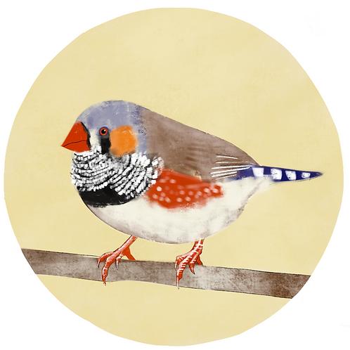 Art Print - Zebra Finch