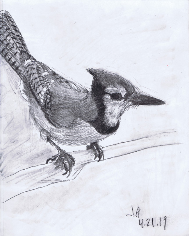 """""""Blue Jay"""", charcoal on 11"""" x 14"""" paper, 2019, $300"""