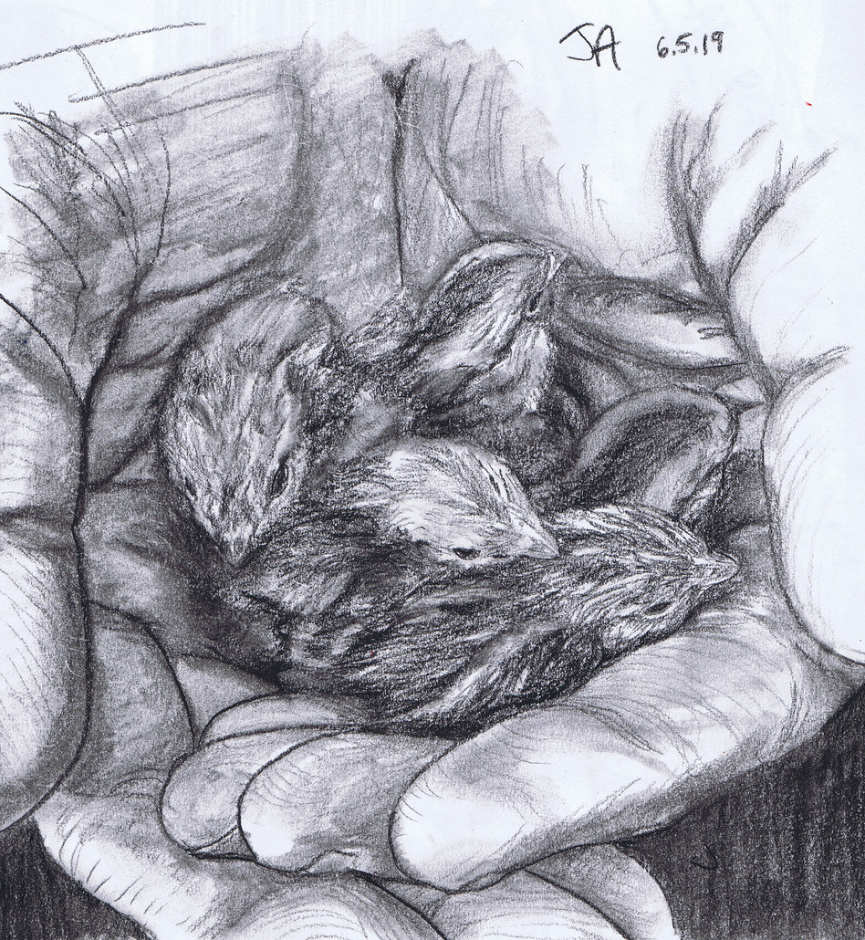 """Hands full of Bob-white quail hatchlings"", charcoal on 11"" x 14"" paper, 2019, $300"