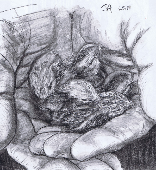 """""""Hands full of Bob-white quail hatchlings"""", charcoal on 11"""" x 14"""" paper, 2019, $300"""