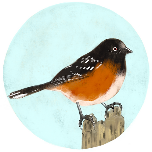 Art Print - Spotted Towhee