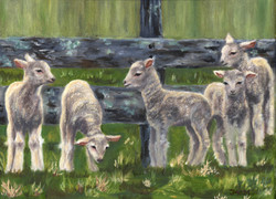 5 lambs vc_edited