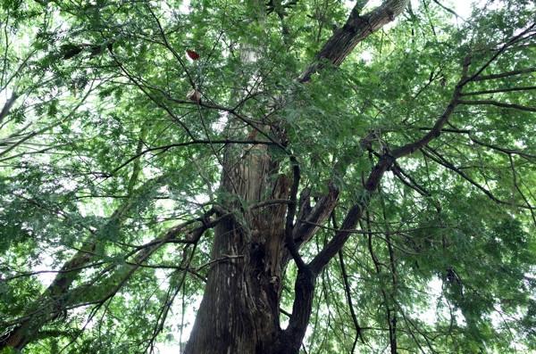 共行きの木