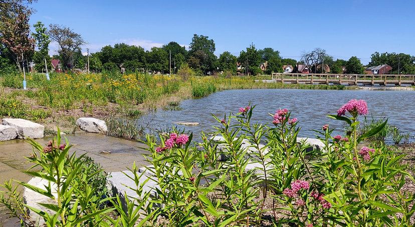 Chandler Park Swamp Milk Weed.jpg