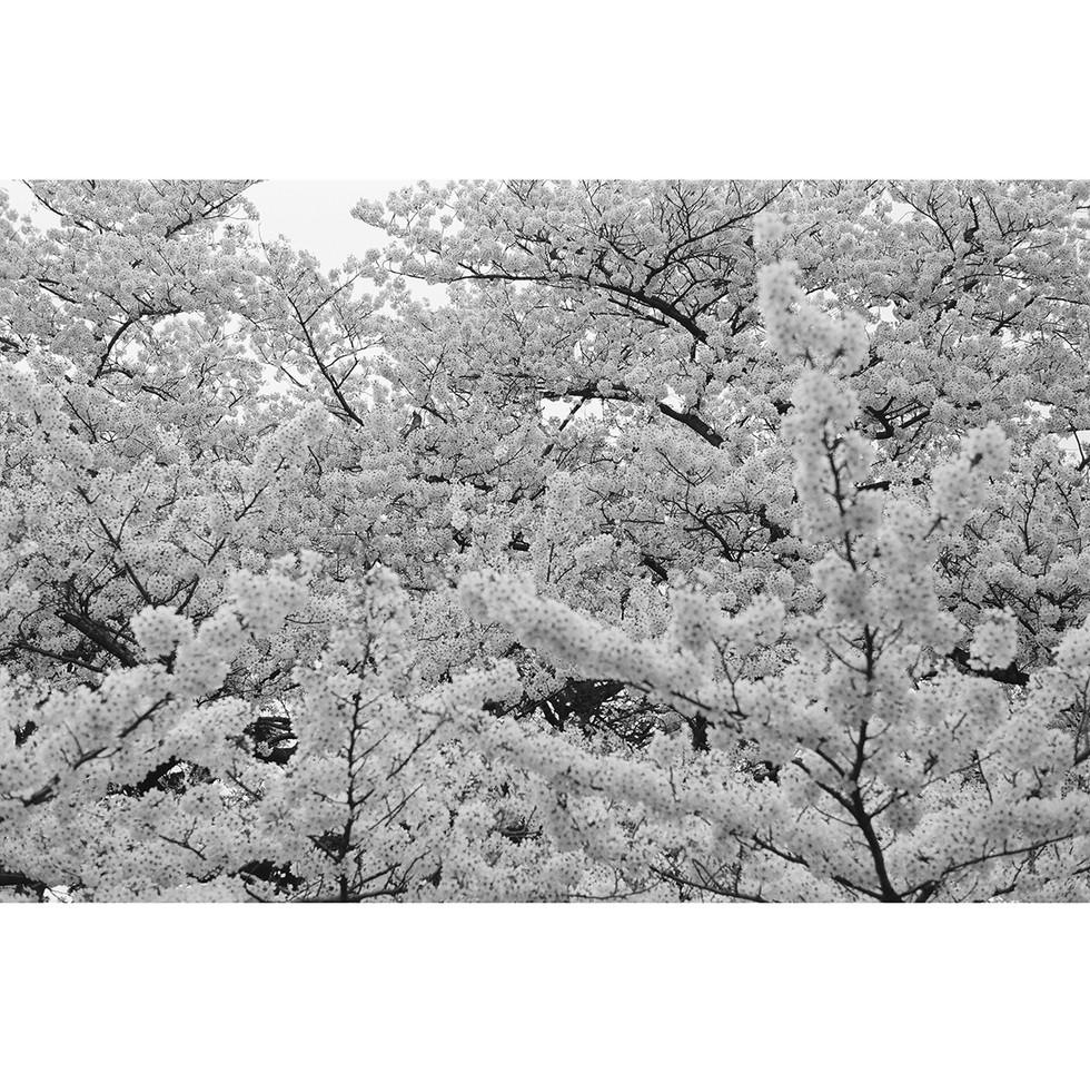 a bird singing blossom 01