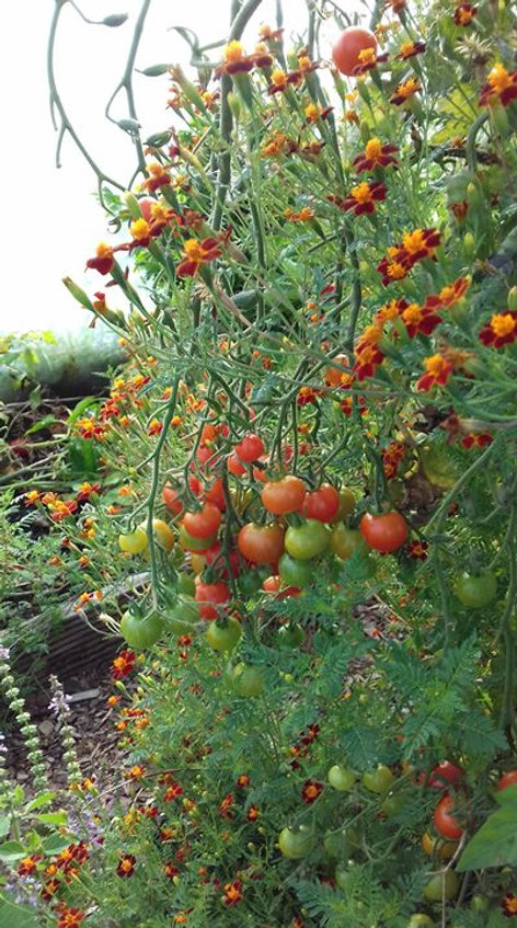 The last of the tomatoes in the tunnel.j