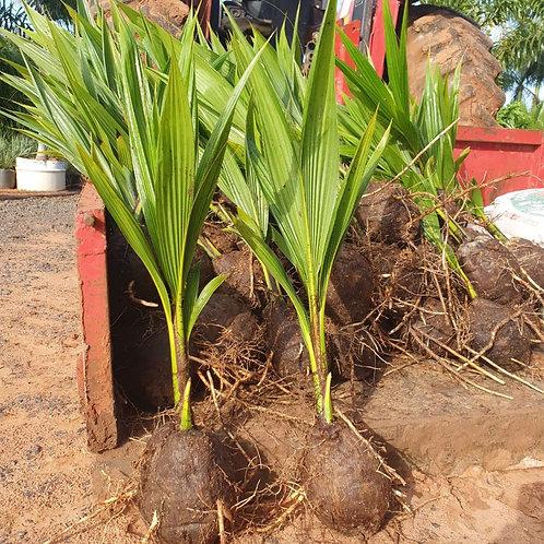 mudas de coco anão de 0,50 a 0,80 cm