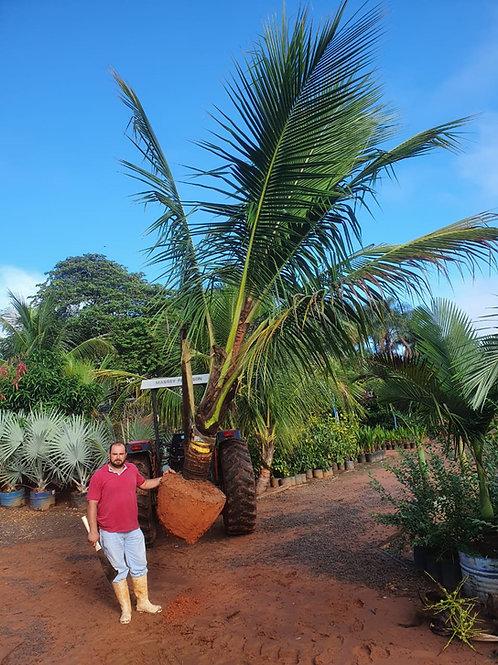 Cocô Anão adulto de 3 a 4 metros produzindo