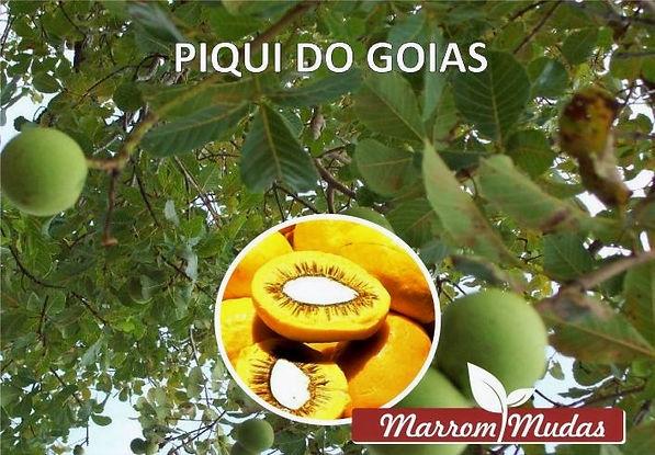 piqui%20dk%20goias_edited.jpg