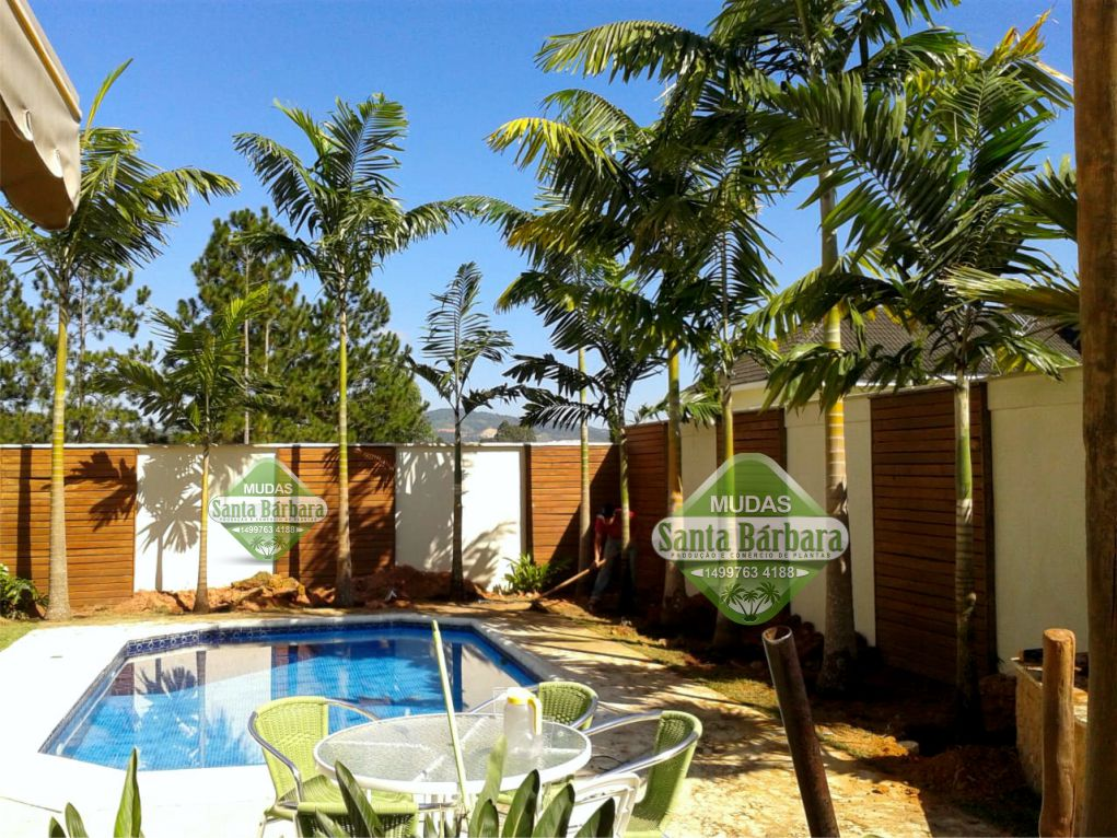 Palmeira Veitia L