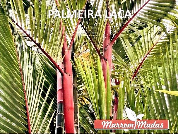 palmeira%2520laca_edited_edited.jpg