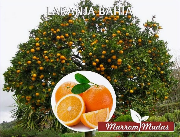 laranja%20bahia_edited.jpg