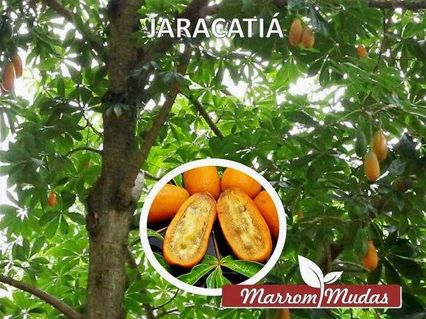 jaracatia_edited.jpg