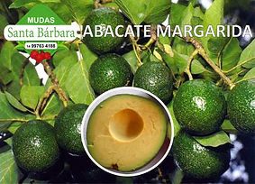 abacate margarida.jpg