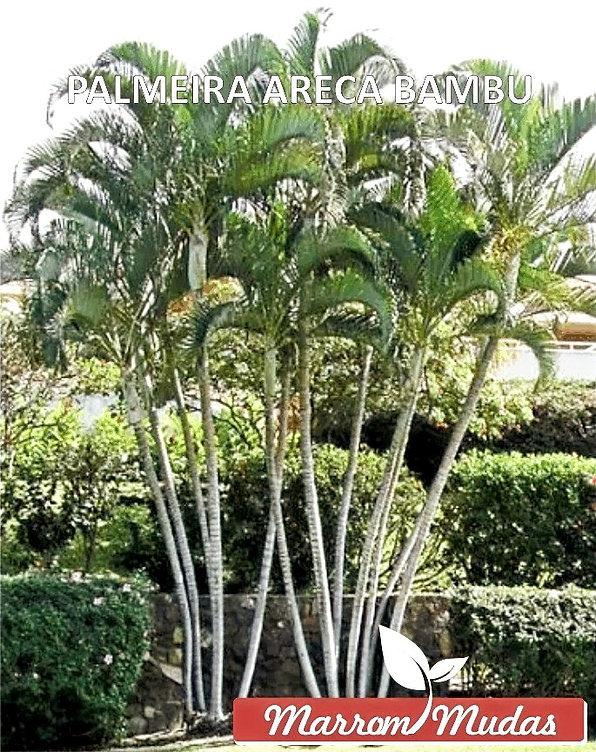 palmeira%2520areca%2520bambu_edited_edit