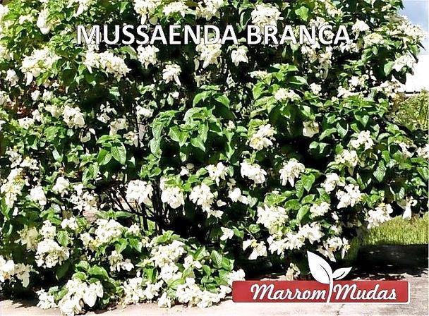 MUSSAENDA%252520BRANCA_edited_edited_edi