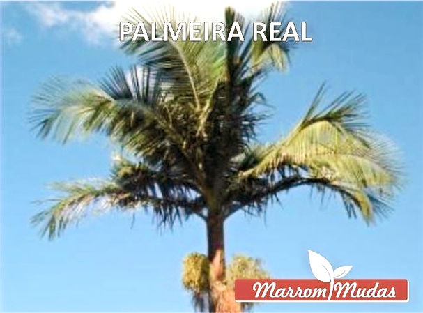 palmeira%20real_edited.jpg