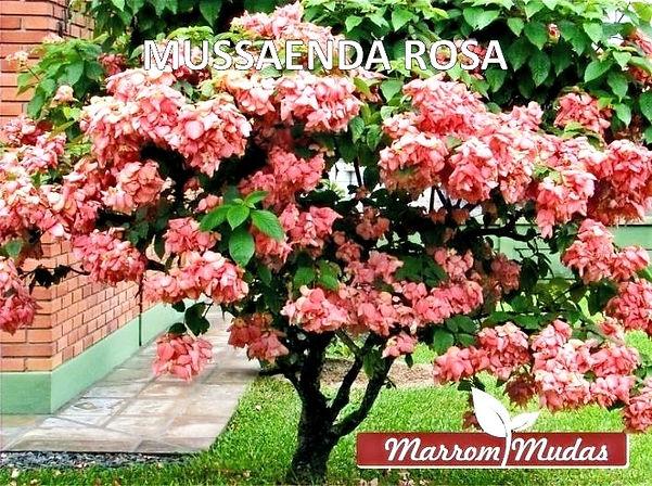 MUSSAENDA%252520ROSA_edited_edited_edite
