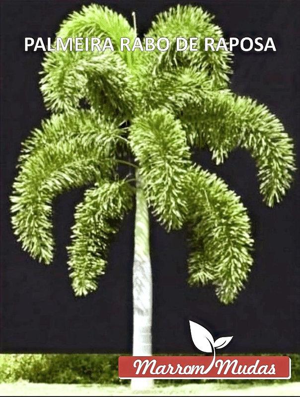 palmeira%20rabo%20de%20raposa_edited.jpg