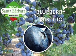 blueberry_mirtilio.jpg