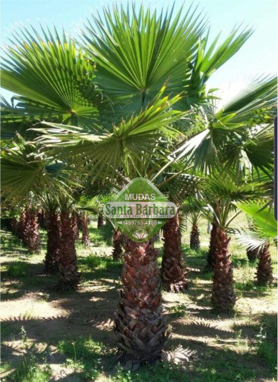 Palmeira woshintonia L