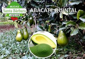 abacate quintal.jpg