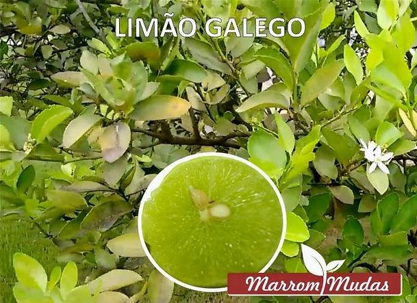 lim%C3%A3o_galego_edited.jpg