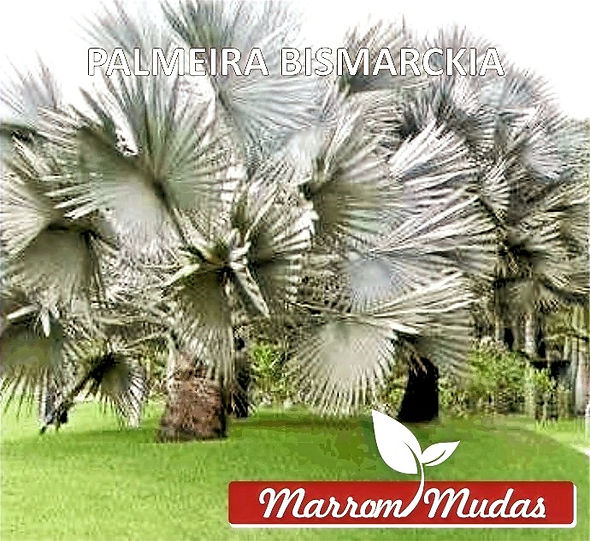 palmeira%252520bismarckia_edited_edited_