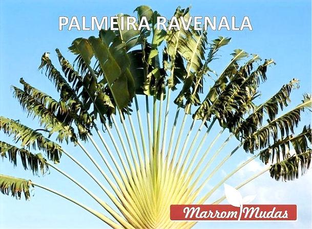 palmeira%20ravenala_edited.jpg