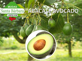 abacate avocado.jpg