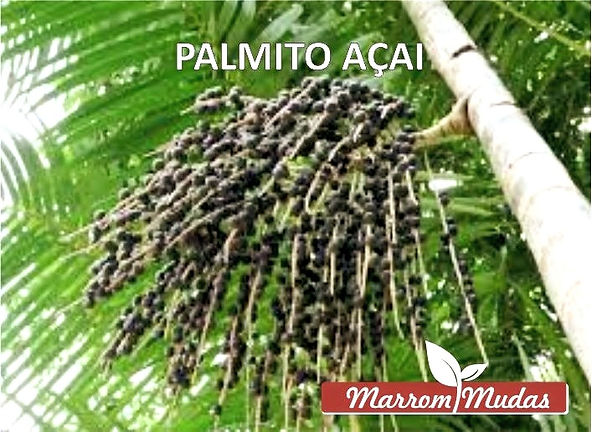palmito_a%C3%A7ai_edited.jpg