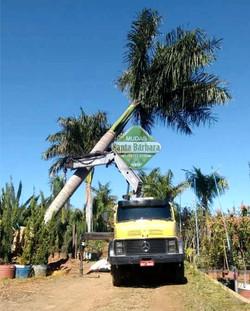 Palmeira Imperial L
