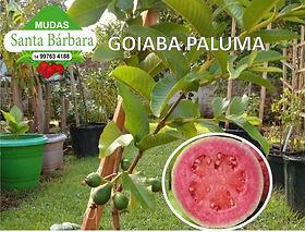goiaba_paluma.jpg