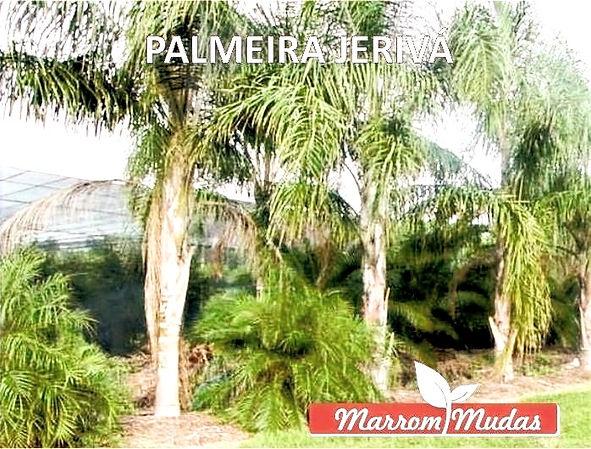 palmeira%252520jeriva_edited_edited_edit