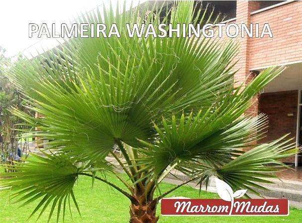 palmeira%20washimgtonia_edited.jpg