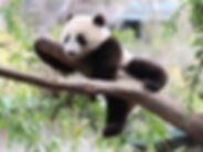 panda_baby.jpeg