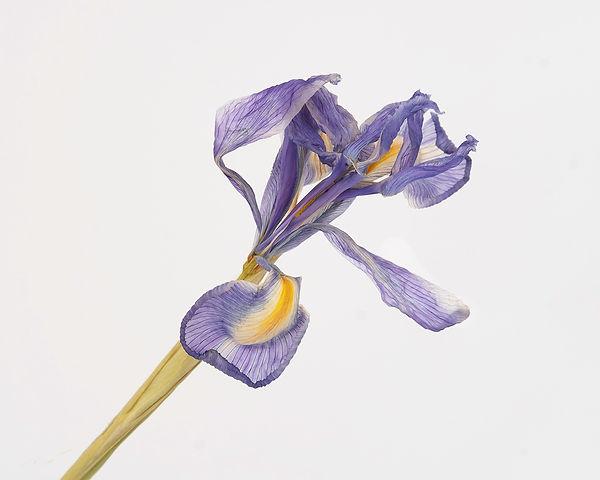 Iris.16.jpg