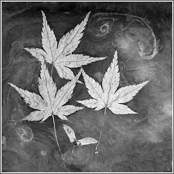 Floating Leaves - Member 50.jpg