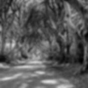 Dark Hedges Member 14-1.jpg